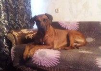 Суд из-за воя собаки Баскервилей: российским хозяевам запретили ее держать